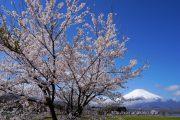 きららの桜