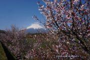 花の都公園の富士桜