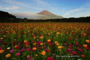 花の都公園の百日草