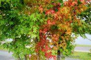 赤と緑が美しいモミジ