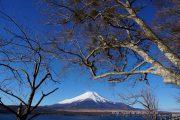 湖に張りだした木の下から望む富士山
