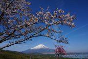 パノラマ台の桜