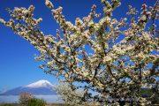 見頃になったエゾノコリンゴの花と富士山