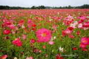 花の都公園のポピー