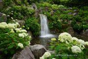 岩清水の滝そばに咲くアナベル