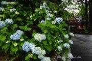山中諏訪神社の紫陽花