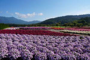 花の都公園のサンパチェンス