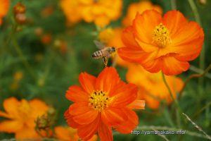 オレンジフレアとミツバチ