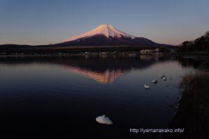 おやすみ中の白鳥と逆さ富士