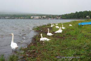 湖畔で休む白鳥