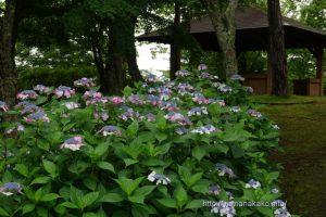 旭日丘湖畔緑地公園のガクアジサイ