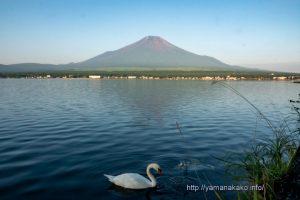 朝の富士山と白鳥