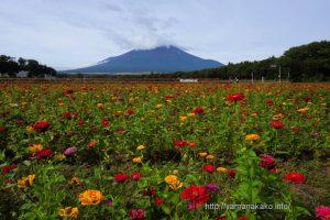 花の都公園の百日草畑より富士山を望む