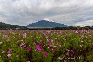 花の都公園のコスモスと雪化粧した富士山