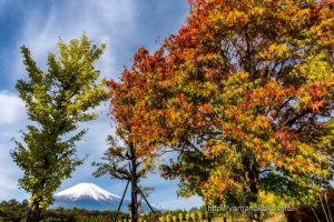 色づいた木々と冠雪した富士山