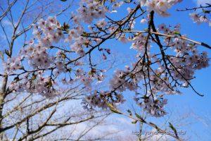 2021 桜の開花定点観測 Vol.08