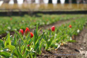 花の都公園チューリップ