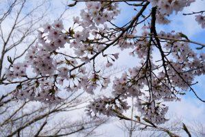 2021 桜の開花定点観測 Vol.09