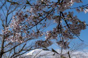 2021 桜の開花定点観測 Vol.10