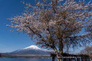 長池湖畔の桜が見頃に