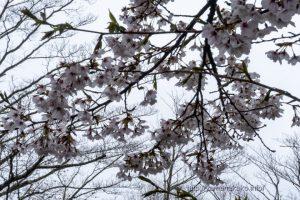 2021 桜の開花定点観測 Vol.11