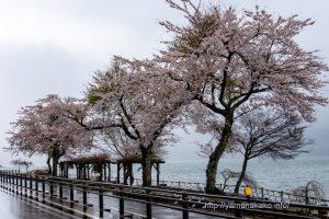 長池湖畔の桜満開