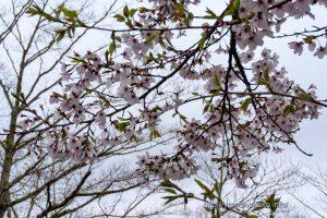 2021 桜の開花定点観測 Vol.13