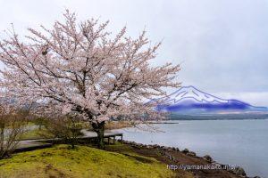 満開のきらら前の桜With妄想富士