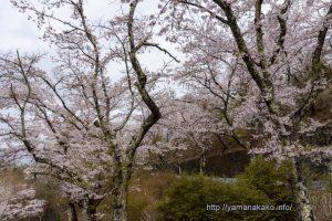 2021 桜の開花定点観測 の様子