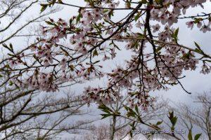 2021 桜の開花定点観測 Vol.14