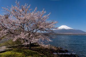 山中湖交流プラザきらら前の桜と富士山