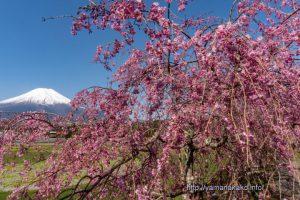 花の都公園の八重紅しだれ桜