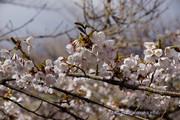 山中湖 桜の開花定点観測