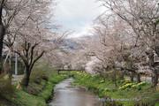 忍野村お宮橋から新名庄川の桜