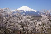 2014年4月27日、満開の桜と富士山@山中湖